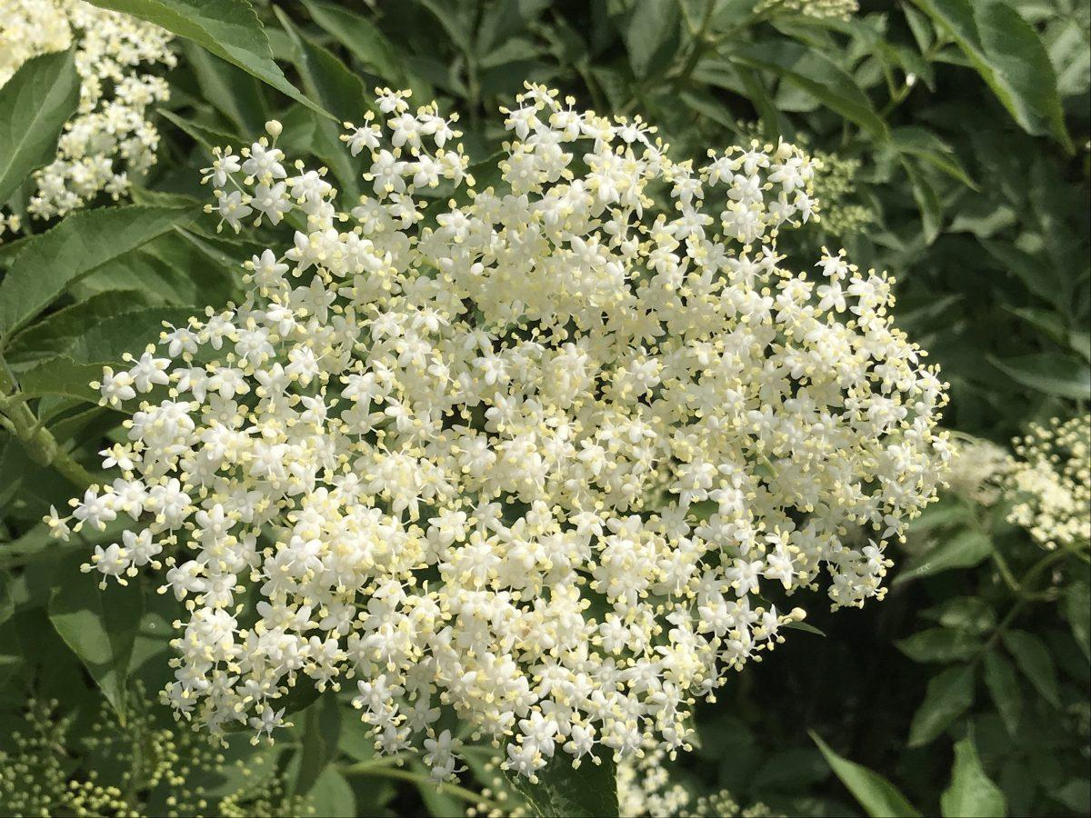 Holunder – Heilpflanze und Mythos